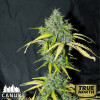 Amnesia AUTO FEM (Canuk Seeds) - 1 Free Seed