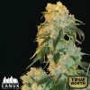 Northern Lights FEM (Canuk Seeds) - 1 Free Seed