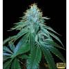 OG #18 FEM (Reserva Privada) - 2 Free Seeds