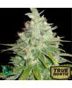 Afghan Kush x Black Domina Feminized Seeds (World of Seeds)
