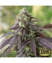 707 Headband Feminized Seeds (Humboldt Seed Org)