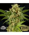 Kush-N-Cheese Feminized Seeds (Dinafem)