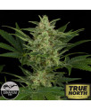 Critical Jack Automatic Feminized Seeds (Dinafem)