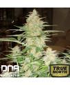 60 Day Wonder AUTOFLOWERING FEMINIZED Seeds (DNA Genetics)