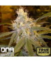 Chocolope FEMINIZED Seeds (DNA Genetics)