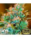 Chocolope Kush FEMINIZED Seeds (DNA Genetics)