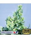 Claustrum Feminized Seeds (Positronics Seeds)