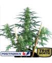 MayDay Autoflowering Feminized Seeds (Positronics Seeds)