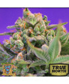 Sweet Cheese Feminized Seeds (Sweet Seeds)