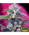 Cream Mandarine FAST Version Feminized Seeds (Sweet Seeds)