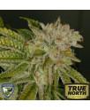 MK Ultra Kush Feminized Seeds (T.H. Seeds)