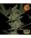 Acapulco Gold Feminized Seeds (Barney's Farm)