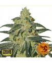 Afghan Hash Plant REGULAR Seeds (Barney's Farm)