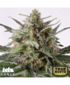 AK x Critical Mass AUTOFLOWERING FEMINIZED Seeds (Canuk Seeds)