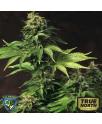 Akorn Feminized Seeds  (THSeeds)