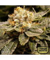 Alien Technology Feminized Seeds (Prism Seeds)