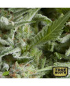 AUTO Alpujarrena FEMINIZED Seeds (Pyramid Seeds)