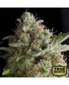 American Pie FEMINIZED Seeds (Pyramid Seeds)