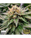 Amnesia Lemon Fast Feminized Seeds (Canuk Seeds)