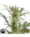 Amnesia XXL Autoflowering Feminized Seeds (Dinafem)