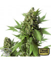 Auto Duck Feminized Seeds (Dutch Passion)