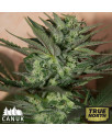 Great White Shark Auto Feminized Seeds (Canuk Seeds)