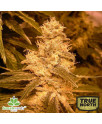 Auto Kush Feminized Seeds (Female Seeds)