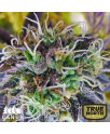 Purple Kush Auto Feminized Seeds (Canuk Seeds)