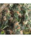 Super OG Kush AUTO FEMINIZED Seeds (Pyramid Seeds)