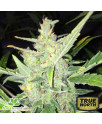 Auto White Widow x Big Bud Feminized Seeds (Female Seeds)