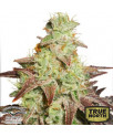 AutoNight Queen Feminized Seeds (Dutch Passion)
