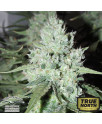 AutoUltimate Feminized Seeds (Dutch Passion)