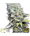 CBD Big Bud Super Skunk Feminized Seeds (CBD Botanic)