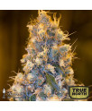 Blue Fire Feminized Seeds (Humboldt Seed Org)