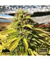 White Banner Feminized Seeds (Canuk Seeds) - ELITE STRAIN