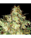 Bubba Cheese AUTO REGULAR Seeds (Emerald Triangle)