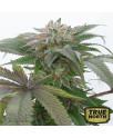 Bubba Kush 2.0 Feminized Seeds (Humboldt Seed Org)