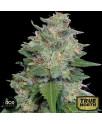 Bubba Kush x Kali China FEMINIZED Seeds (Ace Seeds)