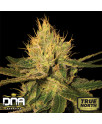 Cannalope Haze FEMINIZED Seeds (DNA Genetics)