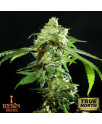 Cannatonic REGULAR Seeds (Resin Seeds)