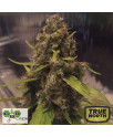CBD 3D REGULAR Seeds (CBD Crew)