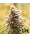 CBD Afghani FEMINIZED Seeds (House of The Great Gardener)
