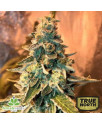 Chem OG Feminized Seeds (Female Seeds)
