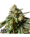 Cherry Pie Feminized Seeds (Canuk Seeds)