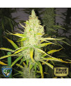 Chicle (aka BubbleDawg) Feminized Seeds (T.H. Seeds)