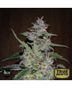 China Yunnan Feminized Seeds (Ace Seeds)