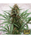 ComPassion Feminized Seeds (Dutch Passion)