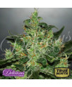 Critical Jack Herer AUTO FEMINIZED Seeds (Delicious Seeds)
