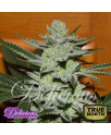 Unknown Kush FEMINIZED Seeds (Delicious Seeds)