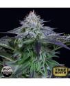 Dinamed Kush CBD Autoflowering Feminized Seeds (Dinafem)